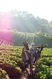 Photo of Thailand. Strawberies Farm in chiangrai Royalty Free Stock Photo
