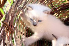Very cute kitten. In the photo there is a cute kitten, Thai breed. This charming fuzzy, still very small and already a pet and friend of the family, a domestic Royalty Free Stock Photo
