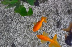 Goldfish playing with a bubble royalty free stock image