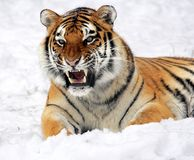 Photo of Tiger Showing His Fangs While Lying on White Surface Stock Photography