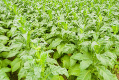 Tobacco Field. The photo is Tobacco Field ,chinese stock photo
