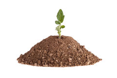 Photo of a  tomato plant growing on a hill of clay isolated on a white background. Photo of a tomato plant growing on a hill of clay isolated on a white Stock Photos