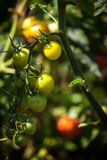 Photo of tomatoes ripening on garden bed at sunny day Stock Photos
