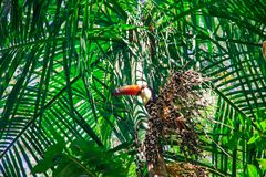 Birds of Parque Das Aves. Photo of a toucan. Characteristic bird of Brazil. This picture was taken at `Parque Das Aves stock photography