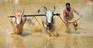 Bullock race in a farm area of kakkoor.karala. This photo is a traditional bullock race and a agriculture fest in kerala Stock Photos