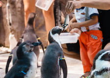 Photo of traveler feeding the penguins in zoo Stock Photography
