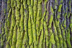 Relief texture of the bark of oak with green moss and lichen. royalty free stock photos