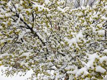 Frozen Spring Tree Blossoms Stock Photography