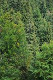 Photo of tree trunks of high forest trees that change color in early autum. N Stock Images