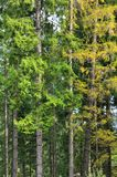 Photo of tree trunks of high forest trees that change color in early autum. N Royalty Free Stock Image