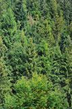Photo of tree trunks of high forest trees that change color in early autum. N Stock Photos