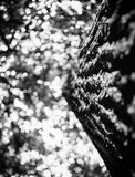 Photo of treetop of an old tree in a green forest black and white Stock Image