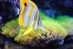 Tropical fish chelmon rostratus Royalty Free Stock Images