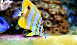 Tropical fish chelmon rostratus Royalty Free Stock Photography