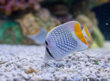 Photo of a tropical Fish Royalty Free Stock Photo