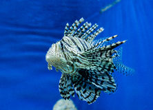 Photo of a tropical Fish Royalty Free Stock Photography