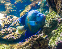 Photo of a tropical Fish on coral reef. Photo of a tropical Fish on a coral reef Royalty Free Stock Photo