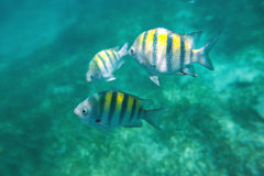 Photo of a tropical Fish on a coral reef. In Carribean sea Stock Photography