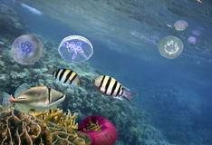 Photo of a tropical Fish on a coral reef. And group of moon jellyfish Royalty Free Stock Photo