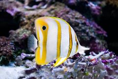 Photo of a tropical fish on a coral reef Stock Images