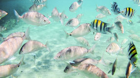 Photo of a tropical Fish on a coral reef in the Red Sea in Hurgh. Ada, Egypt Royalty Free Stock Image