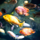 Photo of a tropical fish Stock Images