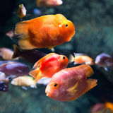 Photo of a tropical fish Royalty Free Stock Images