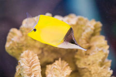 Photo of a tropical yellow tang on a coral reef Royalty Free Stock Photography