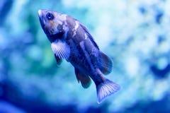 Photo trouble d'un puella de Hypoplectrus de poissons de hameau dans un aquarium de mer photos libres de droits