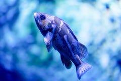 Photo trouble d'un puella de Hypoplectrus de poissons de hameau dans un aquarium de mer photo libre de droits