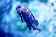 Photo trouble d'un puella de Hypoplectrus de poissons de hameau dans un aquarium de mer photographie stock
