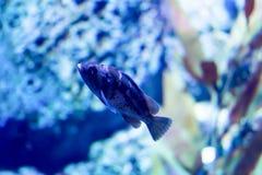 Photo trouble d'un puella de Hypoplectrus de poissons de hameau dans un aquarium de mer photos stock
