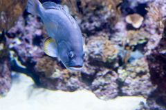 Photo trouble d'une hameau bleue de bourgeon de Hypoplectrus dans un aquarium de mer image stock
