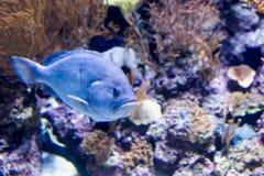 Photo trouble d'une hameau bleue de bourgeon de Hypoplectrus dans un aquarium de mer image libre de droits