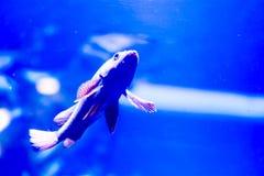 Photo trouble des nigricans noirs de Hypoplectrus de poissons de hameau dans un aquarium de mer photographie stock