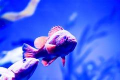 Photo trouble des nigricans noirs de Hypoplectrus de poissons de hameau dans un aquarium de mer image libre de droits