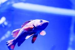 Photo trouble des nigricans noirs de Hypoplectrus de poissons de hameau dans un aquarium de mer images libres de droits