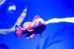 Photo trouble des nigricans noirs de Hypoplectrus de poissons de hameau dans un aquarium de mer image stock