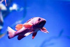 Photo trouble des nigricans noirs de Hypoplectrus de poissons de hameau dans un aquarium de mer images stock