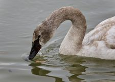 Photo of a trumpeter swan drinking water from lake. Image of a trumpeter swan drinking water Royalty Free Stock Images
