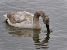 Picture with a trumpeter swan drinking water. Photo of a trumpeter swan drinking water from lake Royalty Free Stock Photo