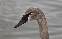 photo of a trumpeter swan swimming Royalty Free Stock Photo