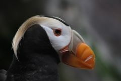 Tufted Puffin in the Alaska Sealife Center Stock Photos