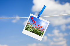 Photo with tulips Stock Photography