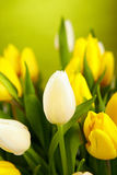 Photo of tulips Royalty Free Stock Image