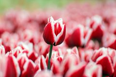 Photo Tulips in a garden with drops of rain Stock Images