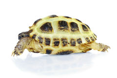 Photo of turtle on a white background Royalty Free Stock Images