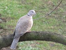 Photo of turtledove sitting on a branch. Detail photo of turtledove sitting on a branch in the autumn garden scenery Royalty Free Stock Photography