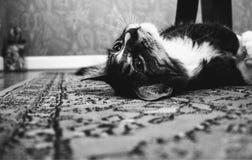 Photo of Tuxedo Cat Laying on Rug Royalty Free Stock Photo