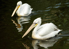 Photo of two big flowing pelicans Royalty Free Stock Image